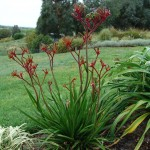 Anigozanthos 'Regal Velvet'