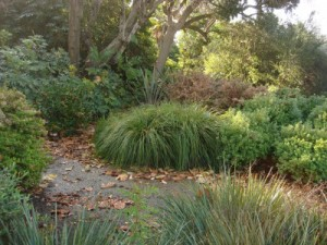 Lomandra 'Breeze' in a garden setting